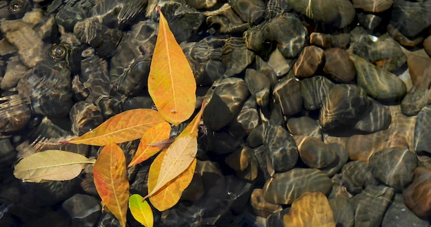 Yellow leaves float clear water bottom many stones