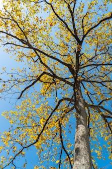 Желтые листья осенью на фоне голубого неба