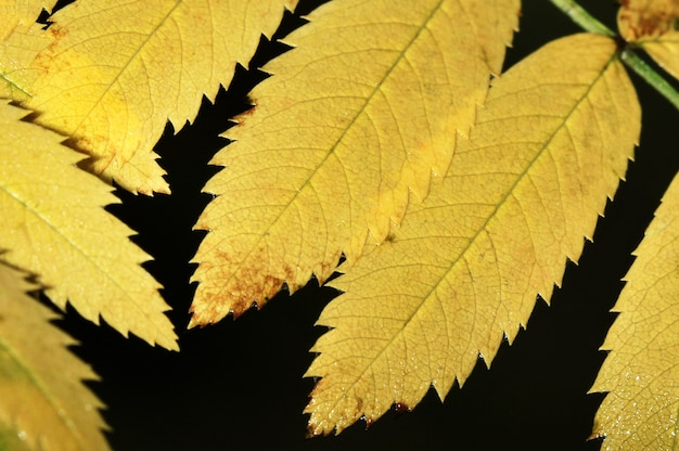 Yellow leaves of mountain ash