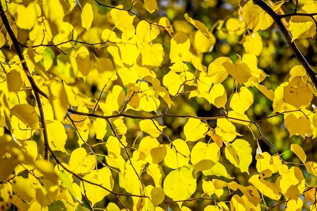 晴天時のリンデンの葉の黄色い葉