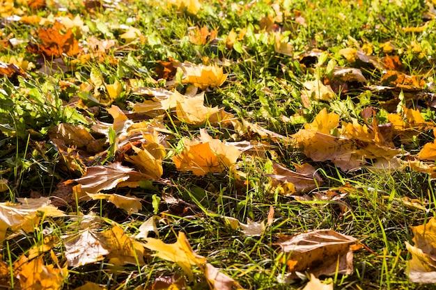 カエデの木の黄色い葉が秋の季節に緑の草に落ち、9月または10月の初秋の晴れた日に自然の中でクローズアップします。