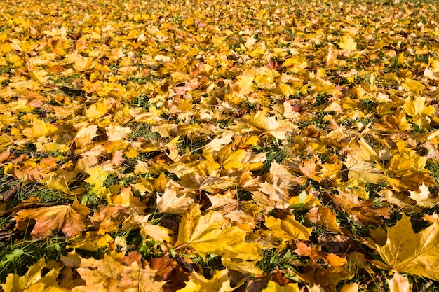緑の草に落ちたカエデの木の黄色の葉