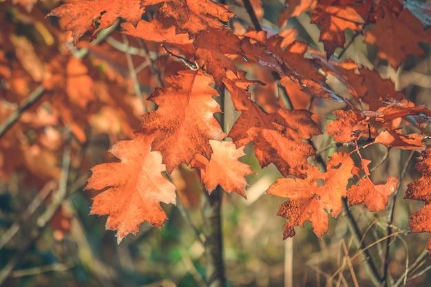 Желтые листья дуба днем на солнце крупным планом