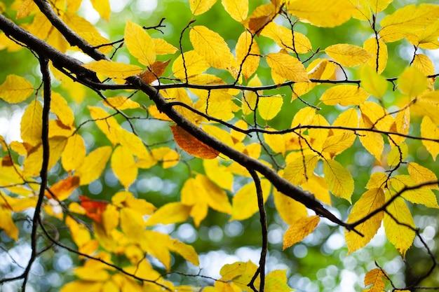 Желтые листья на дереве осенью