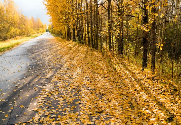 Yellow leaves strewn on the forest road going into the distance.