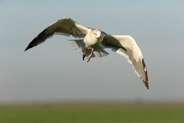 Желтоногая чайка летит с первыми лучами солнца холодным зимним утром