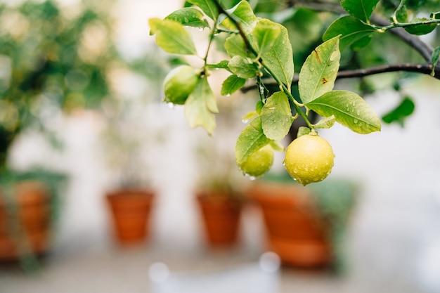 Желтый плод лимона на ветвях дерева среди листвы, покрытой каплями дождя