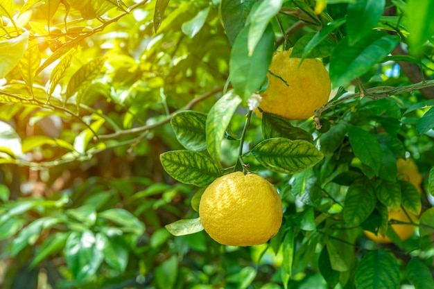 Yellow lemon on a green tree