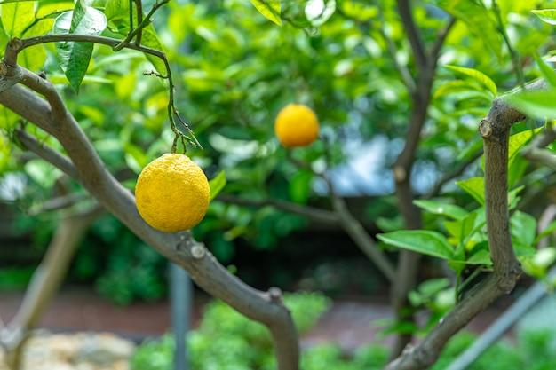 Yellow lemon on a green tree.