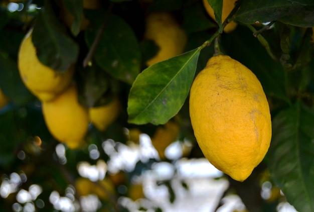 摘み取られるのを待っているレモンの木の黄色いレモン