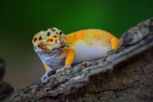 Желтый леопардовый геккон на ветке дерева в тропическом лесу