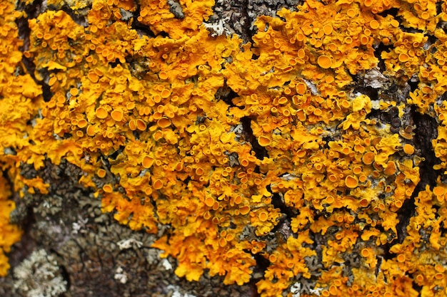 Yellow lichen on the bark of a tree