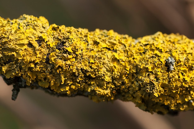 썩은 나무의 가지에 노란 이끼