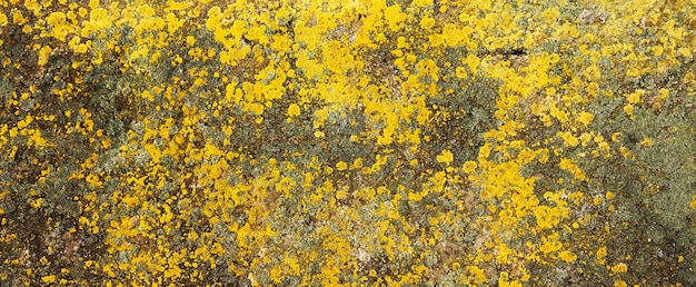Yellow lichen on the stone. yellow mold on a gray old rock. natural background texture.