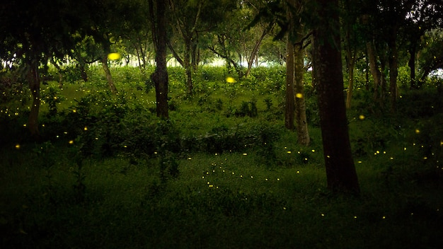 Yellow light of firefly fly in nature forest at night after suns