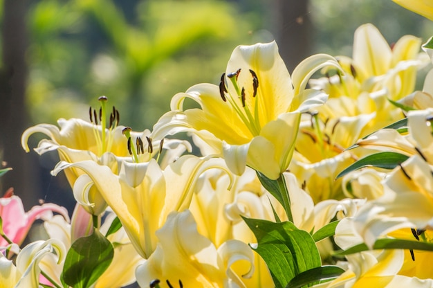 Yellow lilies are blooming in the garden