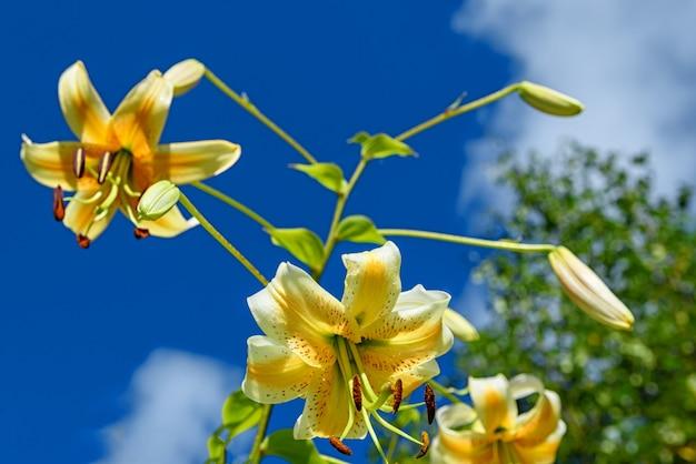 夏の庭の青い空を背景に黄色いユリの花