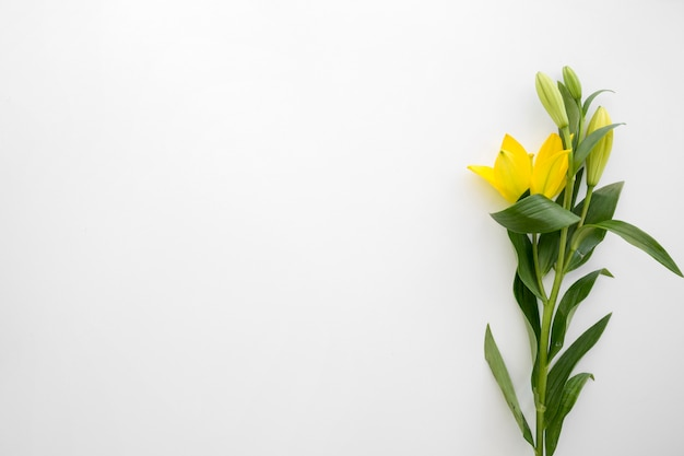 Yellow lily flowers above white backdrop