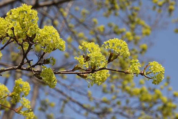 Yellow lime tree flowers against the blue sky.