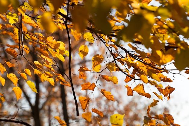 가을 공원에 노란색 린든 잎, 따뜻하고 화창한 날씨에 사진 클로즈업, 단풍 뒤에서 조명