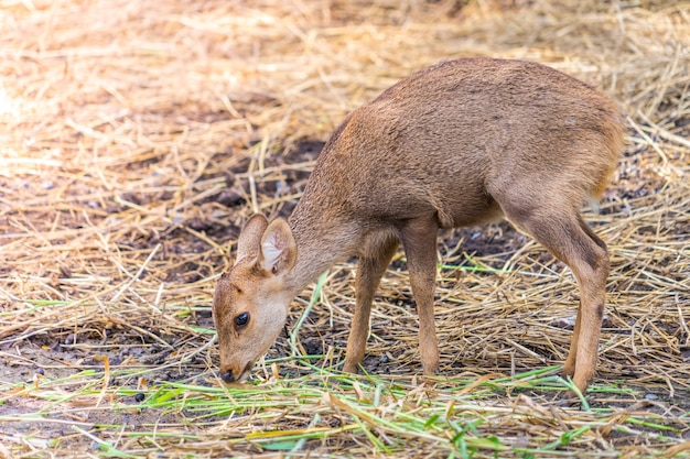 Yellow little baby deer eating grasses on the ground