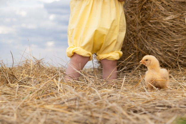 Yellow little chicken and children's legs in yellow pants on the background of the hay