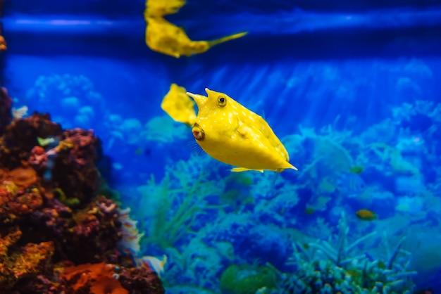Желтая рыба-лонгхорн плавает в голубой воде в аквариуме