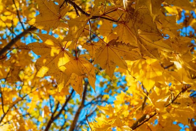 노란 단풍 단풍 배경 가을 시즌