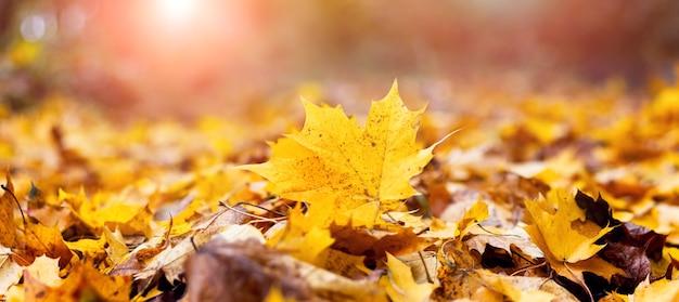 Желтые кленовые осенние листья в лесу на земле при ярком солнечном свете