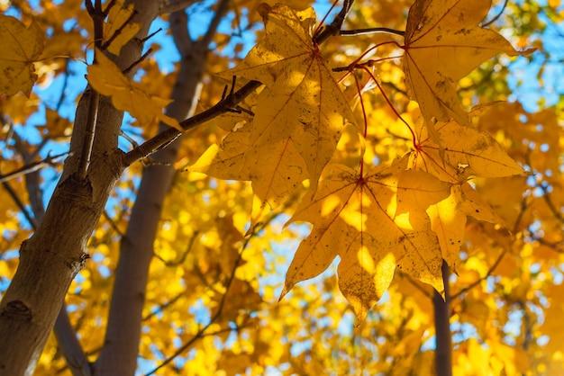 태양 가을 시즌에 노란 단풍 단풍