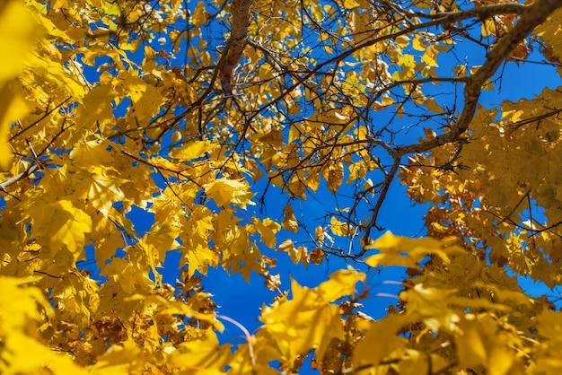 푸른 하늘 배경에 노란 단풍 가을 단풍