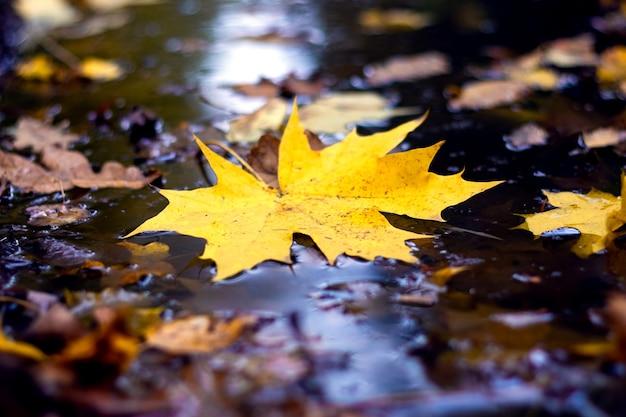 雨上がりの森の水たまりに黄色いカエデの葉がクローズアップ