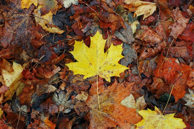 Yellow maple leaf on dry old leaves