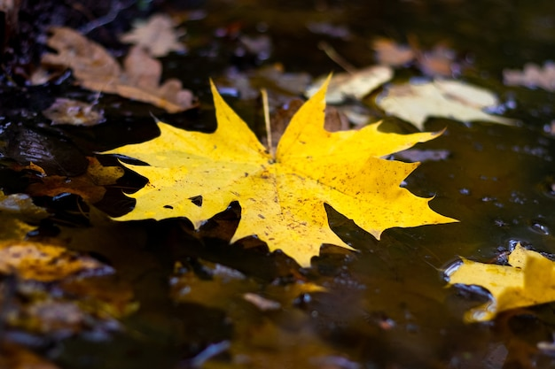 Желтый кленовый лист в луже в пасмурную осеннюю погоду