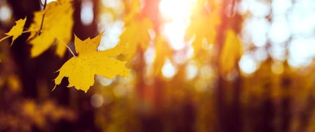 Желтый кленовый лист в лесу на дереве во время заката в теплых осенних тонах