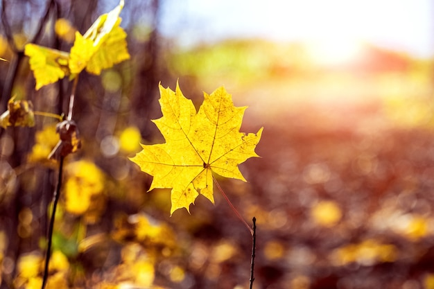 Желтый кленовый лист на ветке в лесу на лугу в солнечную погоду