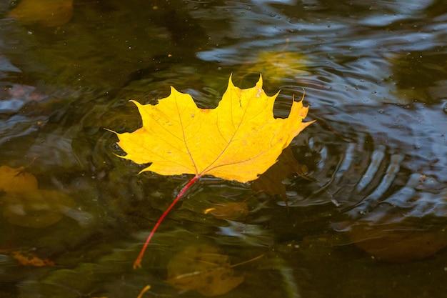 暗い水面に黄色いカエデの葉