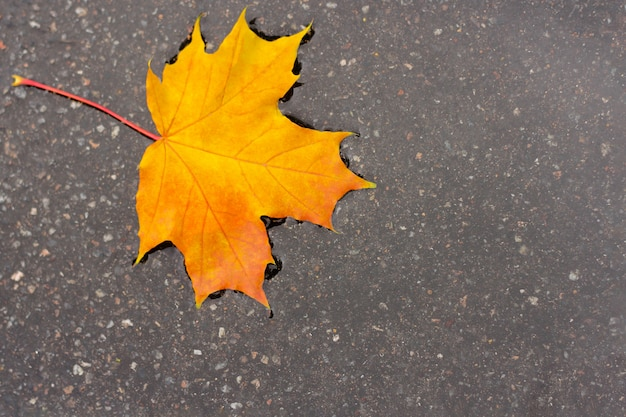 Yellow maple leaf in a puddle. concept of autumn mood and canada day.