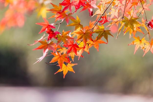 黄色のカエデの葉