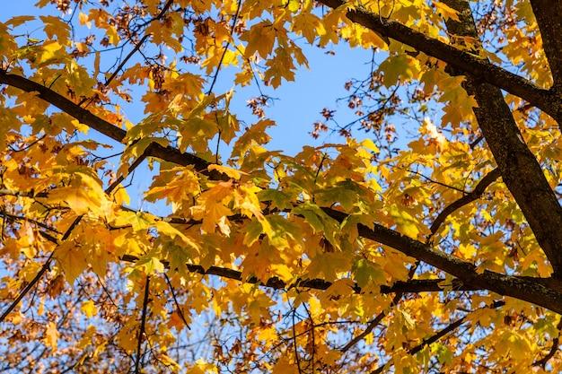 秋の青い空を背景に黄色いカエデの葉