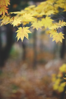 Yellow maple leaves in autumn forest with blurred background