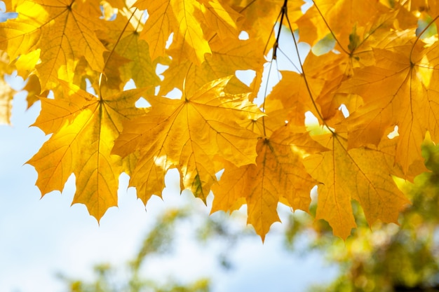 Yellow maple leaves autumn park golden autumn time the yellow leaves on the branches a
