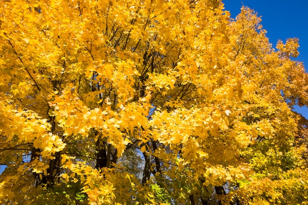 Yellow maple leaves in autumn park