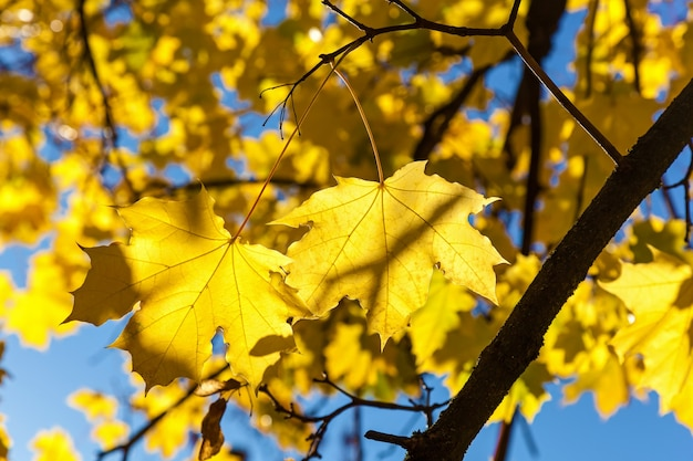 Yellow maple leaves on a blue sky