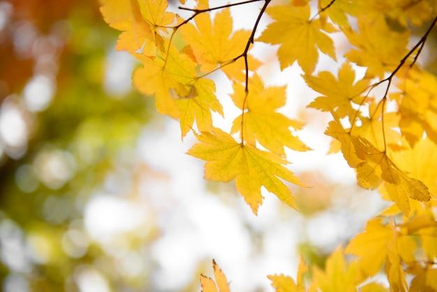 Желтые кленовые листья граничат в осеннем лесу, размытый фон.