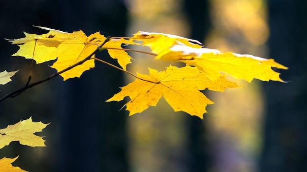 黄色いカエデの葉が木の暗い幹の間の秋の森にクローズアップ