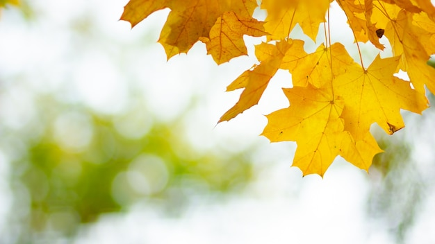 Yellow maple leaves during autumn