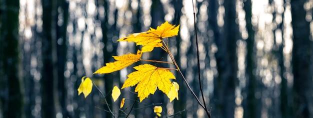 黄色いカエデの葉が暗い森、パノラマに。秋の森