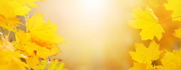 Желтые кленовые листья в осеннем лесу на размытом фоне в солнечном свете. осенний фон, копия пространства