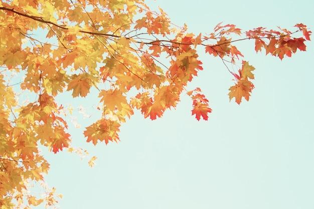 Желтые кленовые листья в осеннем парке на фоне ярко-голубого неба, тонированное в стиле ретро